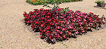 Royal Horticultural Society gardens at Hyde Hall, Essex, England, UK - Annual Bedding, begonias
