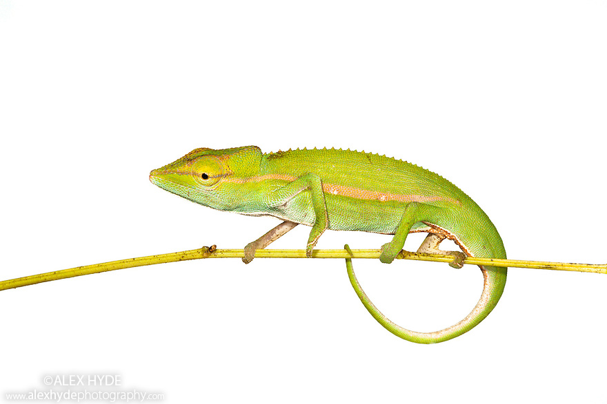 Short-nosed chameleon {Calumma gastrotaenia} photographed against white background in tropical rainforest, Andasibe-Mantadia NP, Eastern Madagascar.