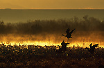 Sandhill Cranes in flight and geese standing in water in Bosque Del Apache National Wildlife Refuge, New Mexico