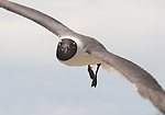 Laughing Gull in flight, in summer plumage, diving at the camera