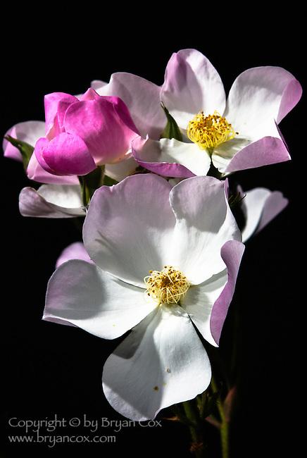 Lyda rose