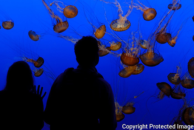A couple viewing some jellyfish swimming on a exhibit at the maui ocean center maui hawaii.