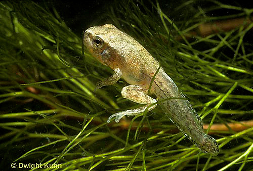 FR17-012a  Spring Peeper Tree Frog - tadpole developing into frog, losing tail, legs developed -  Pseudacris crucifer, formerly Hyla crucifer