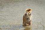 Sugar Island. 'Gilly' Golden retriever in water.