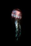 East Coast Sea Nettle, Chrysaora quinquercirrha, captive, showing stinging tentacles.USA....