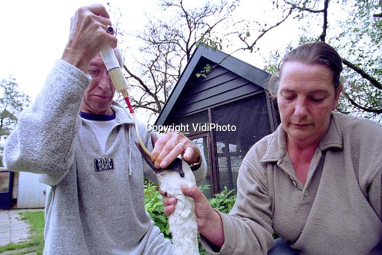 Foto: VidiPhoto..WOUDENBERG - Een ernstig zieke zwaan krijgt van Math en Helga Rosier voedsel toegediend via een sonde. Het is de enige manier om het dier weer op de been te helpen. De Regionale Vogelopvang Woudenberg heeft dit jaar een recordaantal dieren, voornamelijk vogels, geholpen. Oorzaak is volgens eigenaresse Helga Rosier, de toegenomen betrokkenheid van mensen bij het dierenleed. De meeste gewonde of zieke beesten worden namelijk door particulieren binnengebracht.