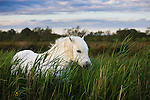 White Camargue horse, stallion in tall grass, Camargue, France