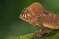 helmeted iguana (Corytophanes cristatus), Costa Rica