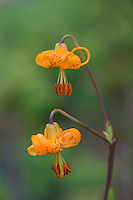 Columbia Lily, Columbian Lily, Oregon Lily, Tiger Lily (Lilium columbianum).  Pacific Northwest.  June.