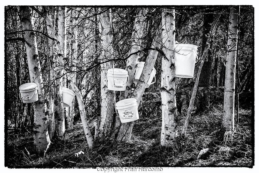 Birch sap buckets