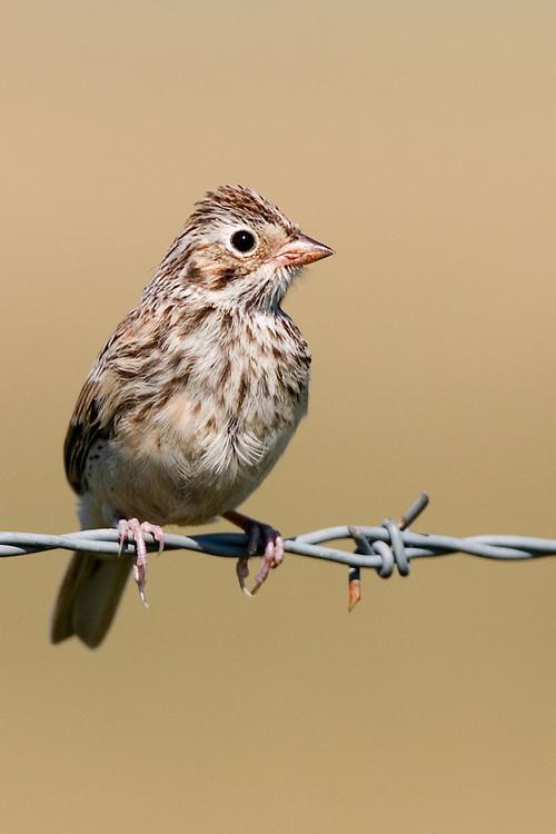 Vesper Sparrow sitting on barbed wire