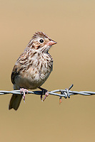 Vesper Sparrow sitting on barbed wire