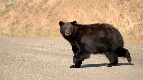 BLACK BEAR CROSSING ROAD AT SEQUOIA NATIONAL PARK, CALIFORNIA