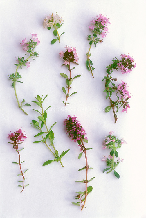 Cut Thyme herb sprigs on white background, mixture and variety of types and flowers