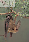 Townsend's Big-eared Bat (Plecotus townsendii), an endangered species, New Mexico, USA.