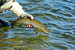 Bighorn River  handheld brown trout