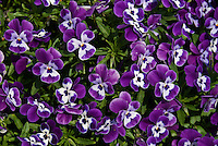 Blue and white pansies (Viola tricolor hortensis) flowering in an en masse planting.