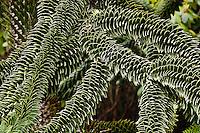 Monkey Puzzle Tree, Araucaria araucana, Shore Acres State Park, Coos Bay, Oregon