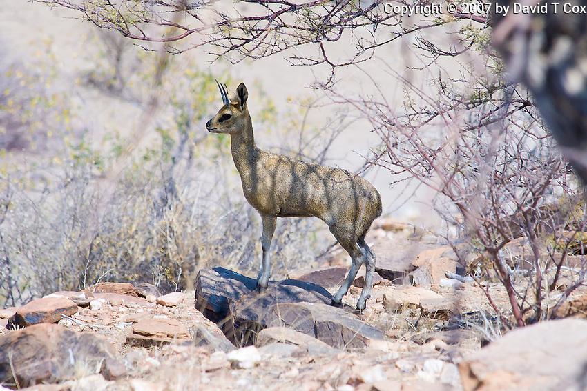 Klipspringer, Namib Desert, Namibia