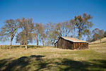 Weathered wooden barn and oaks in winter, Amador County, Calif.