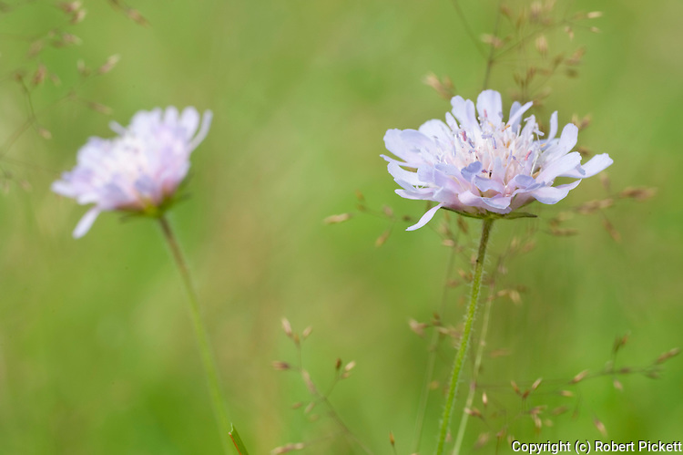 Field Scabious, Knautia arvensis, in Flower Meadows, Brasov-Buzau area, Romania