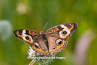 03411-011.10 Common Buckeye Butterfly (Junonia coenia) on Rattlesnake Master (Eryngium yuccifolium) Marion Co., IL