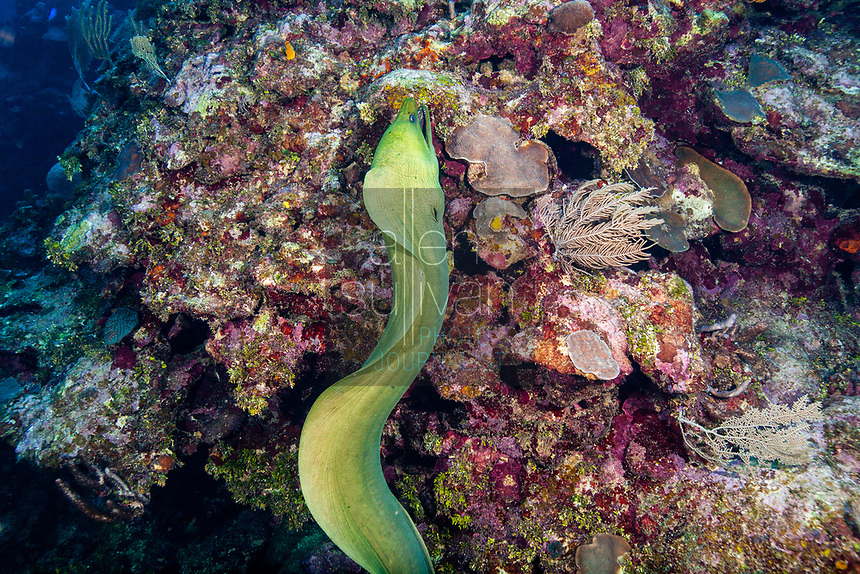 Green moray eel on coral during a dive on Roatan, Honduras.