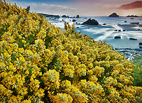 Bandon Beach with blooming gorse. Oregon