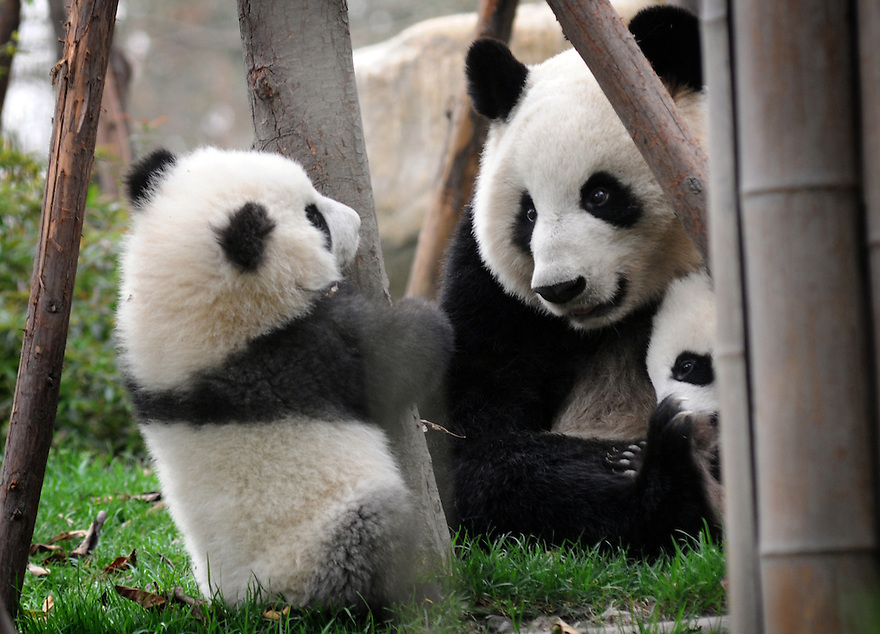 MOTHER AND BABY PANDAS PLAYING AT THE CHENGDU PANDA BREEDING AND RESEARCH CENTRE, SICHUAN, CHINA. 14/3/13. PICTURE BY CLARE KENDALL 07971 477316
