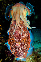 Mating cuttlefish ( Sepia pharaonis ) at Richelieu Rock, Andaman Sea, Surin National Park, Thailand