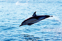 common dolphin, Delphinus delphis or capensis, leaping, Bay of Islands, New Zealand, Pacific Ocean