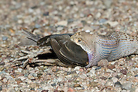 A Western Diamondback Rattlesnake (Crotalus atrox) eating a young Gambel's Quail (Callipepla gambelii)