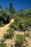 Trail through sandhills habitat, Bonny Dune Ecological Preserve, Santa Cruz Mountains, California