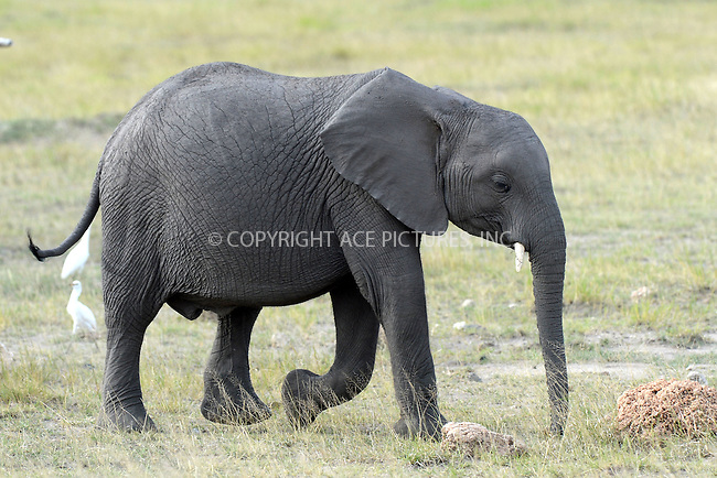 WWW.ACEPIXS.COM<br /> February 27, 2016 New York City<br /> <br /> Elephants seen in Amboseli National Park on February 27, 2016 in Kenya.<br /> <br /> Credit: Kristin Callahan<br /> web: http://www.acepixs.com