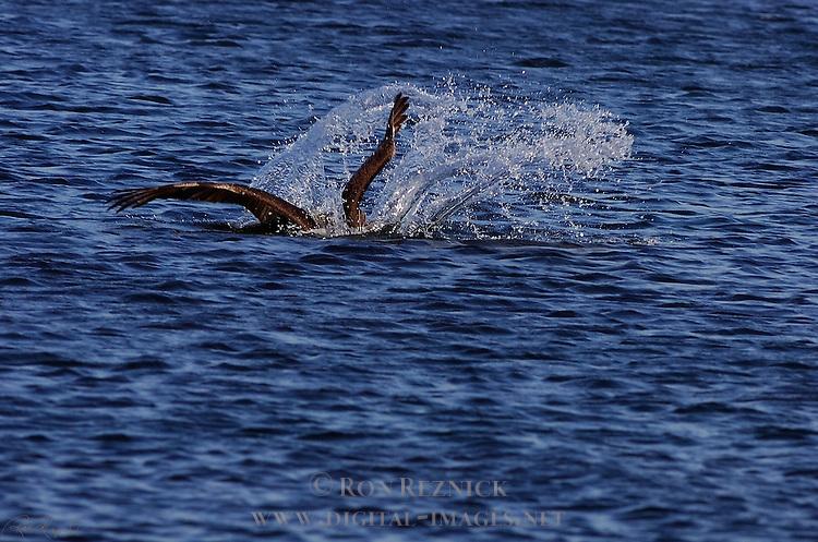 Brown Pelican Hunting Dive, Bolsa Chica Wildlife Refuge, Southern California