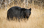 American Black Bear<br />