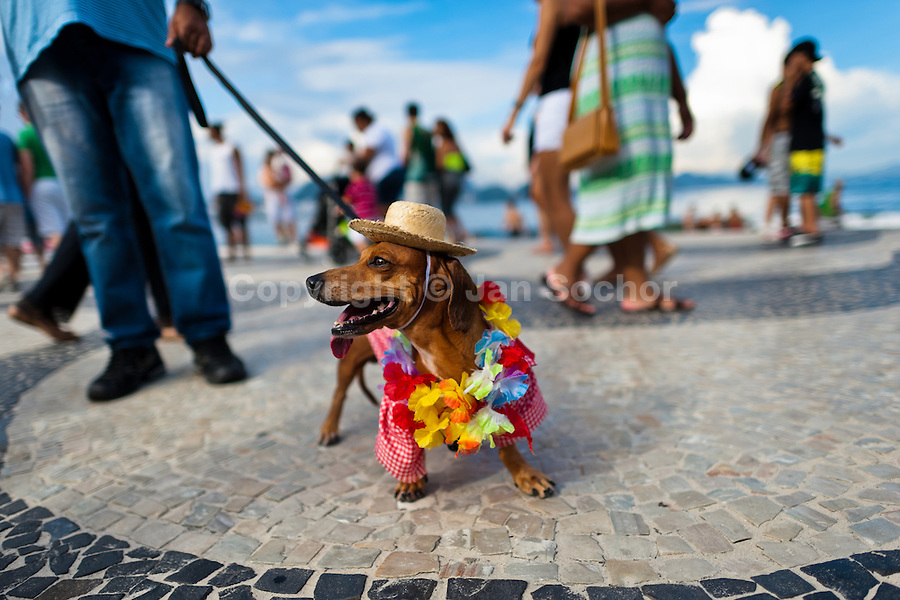 A Dachshund dog, wearing a fancy costume, participates in the Blocao pet carnival show at Copacabana beach in Rio de Janeiro, Brazil, 12 February 2012.