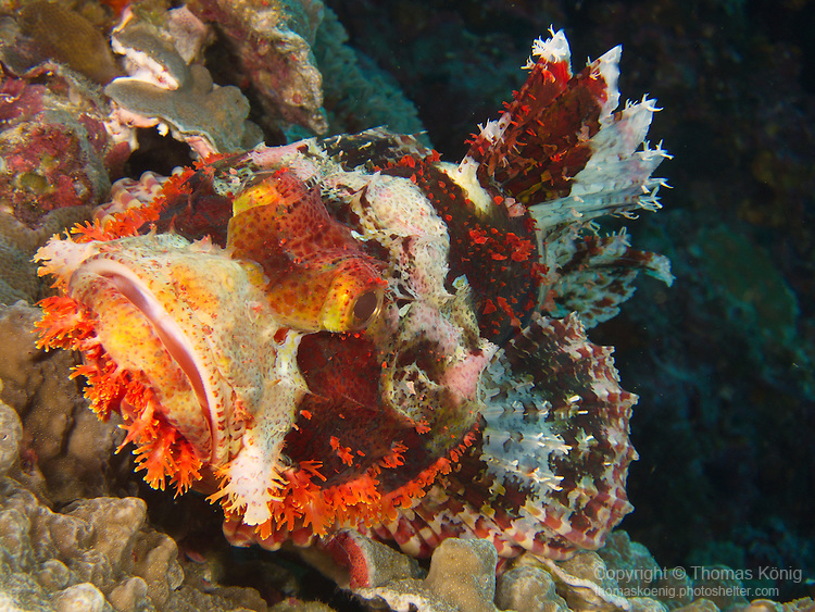 Dragon Gate Rock Reef (Long Men Yan Jiao), Green Island -- Colorful scorpionfish waiting for prey.