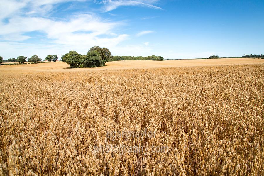 Oats in ear ready for harvest - Norfolk, August