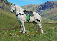 Highland pony with a Glenstrathfarrar stalking saddle, Spittal of Glenshee, Cairngorms National Park, Scotland.