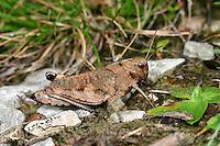 Rotflüglige Schnarrschrecke, Rotflügelige Schnarrschrecke, Psophus stridulus, Acridium stridulum, Rattle grasshopper