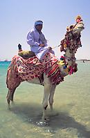 EGY, Aegypten, Hurghada: Einheimischer sitzt auf geschmuecktem Dromedar am Strand | EGY, Egypt, Hurghada: local with dromedary at beach