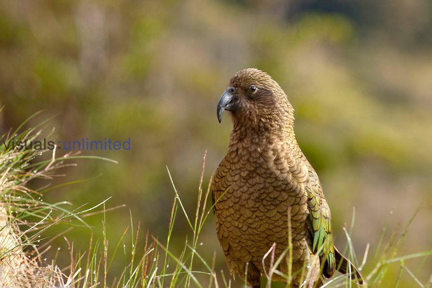 Kea (Nestor notabilis), Fiordland National Park, South Island, New Zealand