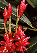 Tataquara, Brazil. Bright red flower on a tree with water droplets. Para State, Amazon.