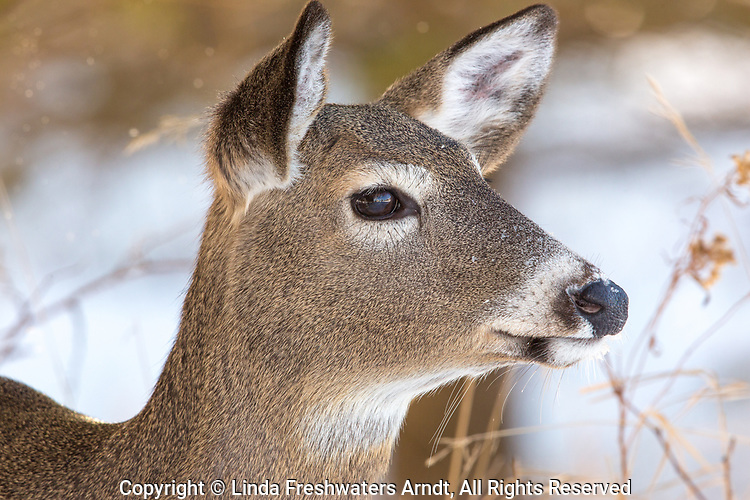 White-tailed doe on a cold January day.