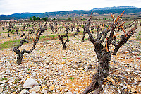 Mont Tauch Cave Cooperative co-operative In Tuchan. Fitou. Languedoc. Vines trained in Gobelet pruning. Old, gnarled and twisting vine. Terroir soil. France. Europe. Vineyard. Soil with stones rocks.