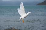 Almirantazgo fjord. Ainsworth Bay nearby Darwin cordillera...Kelp goose .(oie caranca), male entierement blanc et femelle noire..