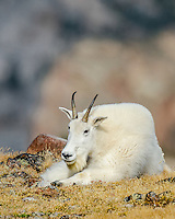 Mountain Goat Billy (Oreamnos americanus) resting in alpine meadow in the Beartooth Mountains of Southern Montana/Northern Wyoming.  Late Sept.