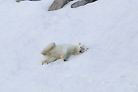 Polar bear on the snow in northern Svalbard.