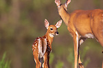 White-tailed doe and fawn in northern Wisconsin.